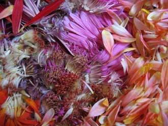 Canon Ixus 430 - květy s dobrým barevným podáním, neostrost v rozích