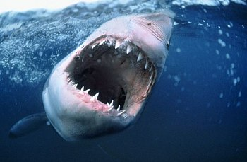 ŽIJE I NA JADRANU. U chorvatského pobřeží se podle důvěryhodných svědectví objevil po dvou letech velký žralok bílý, kterého lidé znají ze Spielbergových Čelistí.